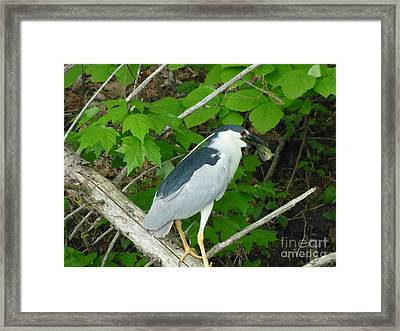 Heron With Dinner Framed Print