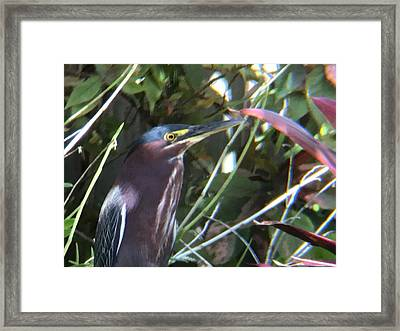 Heron With Yellow Eyes Framed Print by Val Oconnor