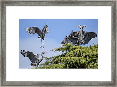 Herons Mating Dance Framed Print by Keith Boone
