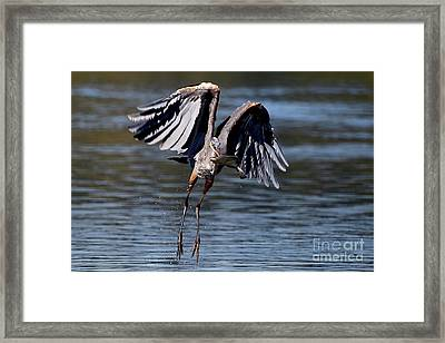 Great Blue Heron In Flight With Fish Framed Print