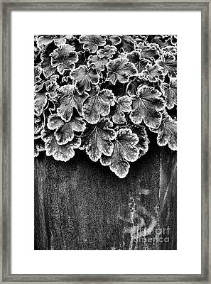 Heucherella Solar Eclipse Monochrome Framed Print