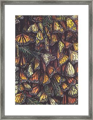 Hibernating Monarchs Framed Print by Sam Pearson