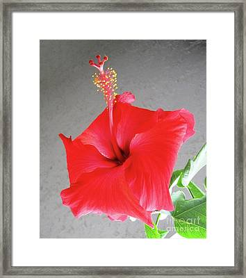 Hibiscus #2 Framed Print