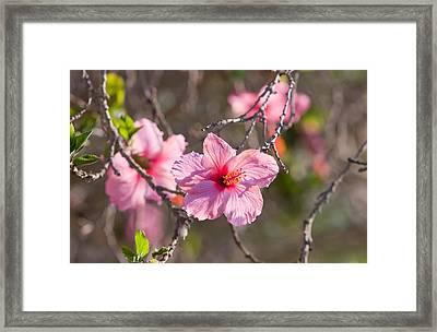 Hibiscus Framed Print by American School