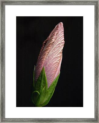 Hibiscus Bud - 1 Framed Print