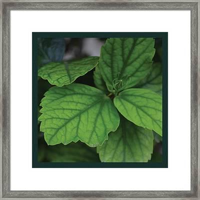 Hibiscus Bud 1 Framed Print