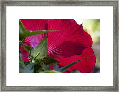 Framed Print featuring the photograph Hibiscus by Charles Harden