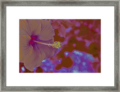 Hibiscus Gllow Framed Print by Lucrecia Cuervo