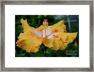 Hibiscus Golden Mist Framed Print