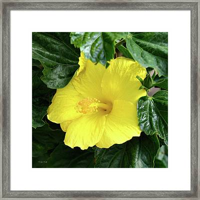 Hibiscus Heaven Framed Print by Kathy Kelly
