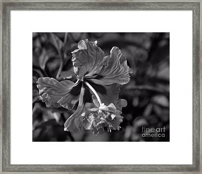 Framed Print featuring the photograph Hibiscus In Blackwhite by Ken Frischkorn