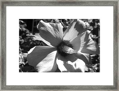 Hibiscus In Bloom Framed Print