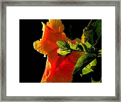 Hibiscus In The Light Framed Print by Rosalie Scanlon