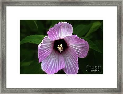 Hibiscus  Framed Print by JW Hanley