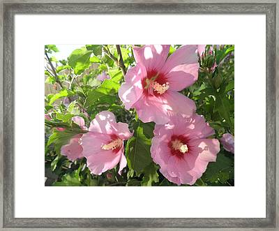 Hibiscus Framed Print by Kate Gallagher