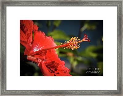 Hibiscus Macro Framed Print by Robert Bales