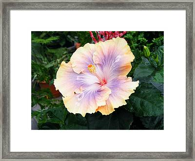 Framed Print featuring the photograph Hibiscus by Margie Avellino