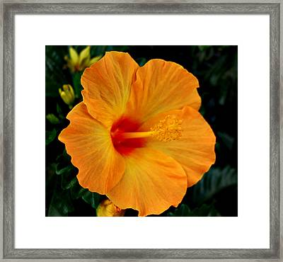 Framed Print featuring the photograph Hibiscus by Marilynne Bull