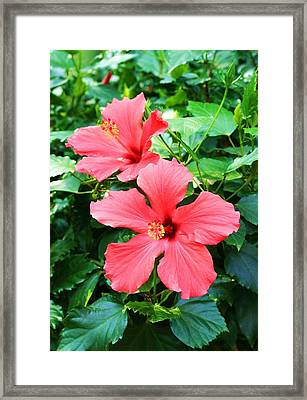 Hibiscus Framed Print by Michael C Crane