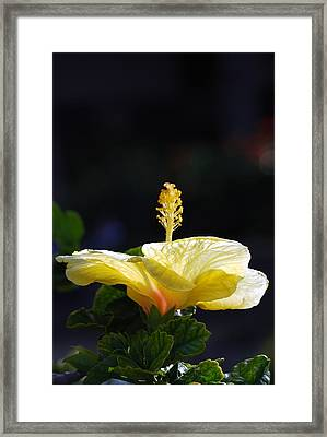 Framed Print featuring the photograph Hibiscus Morning by Debbie Karnes