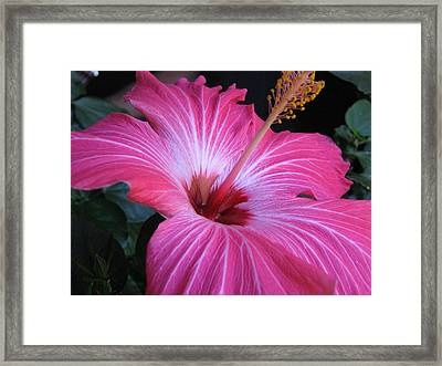 Hibiscus Photograph Framed Print