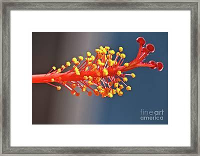 Hibiscus Pistil Framed Print by Robert Bales