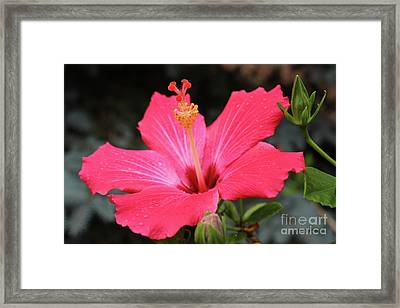 Hibiscus Red Flower Framed Print by Corey Ford