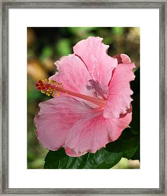 Hibiscus Shadow  Framed Print by Kim