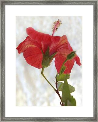 Hibiscus Framed Print by Terence Davis