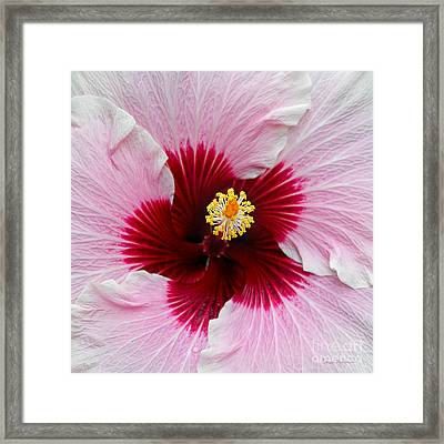Hibiscus With Cherry-red Center Framed Print