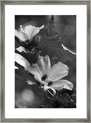 Hibiscus5586 Bw Framed Print by Carolyn Stagger Cokley