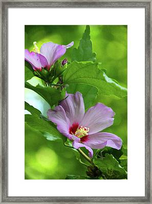 Hibiscus5586 Framed Print by Carolyn Stagger Cokley
