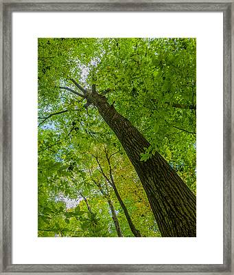Hickory Tree, Fischer Old Growth Forest Framed Print