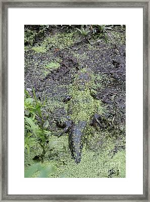 Hidden Baby Gator Framed Print by Carol Groenen