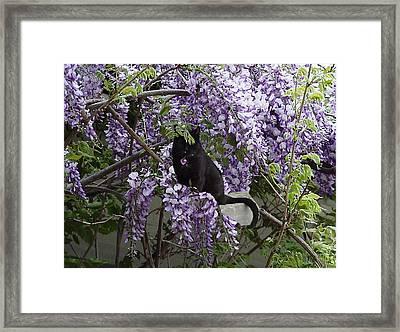 Hiding In The Wisteria Framed Print by Carole Boyd