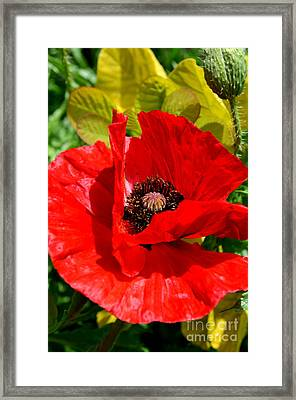 Hiding Red Poppy Framed Print by Mary Deal