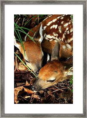 Hiding Twin Whitetail Fawns Framed Print