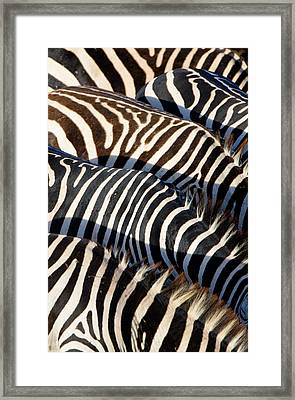 High Angle View Of Burchells Zebras Framed Print by Panoramic Images