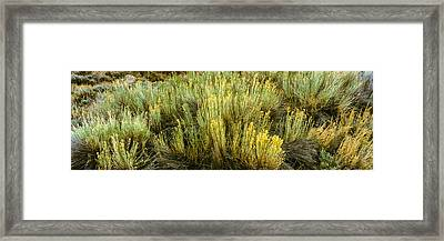 High Angle View Of Sagebrush In Field Framed Print by Panoramic Images