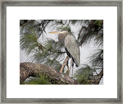 High In The Pine Framed Print