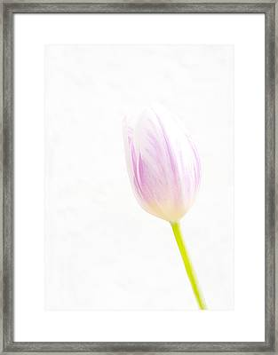 High Key Tulip Framed Print