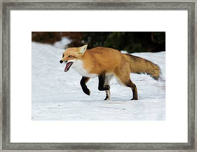 Framed Print featuring the photograph High Speed Fox by Mircea Costina Photography