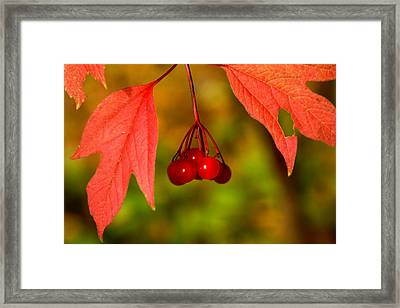 Highbush Cranberries Framed Print