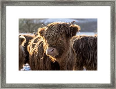 Highland Baby Coo Framed Print