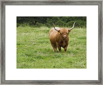 Highland Cattle Framed Print by Diane Diederich