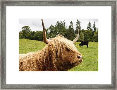 Framed Print featuring the photograph Highland Coo by Christi Kraft