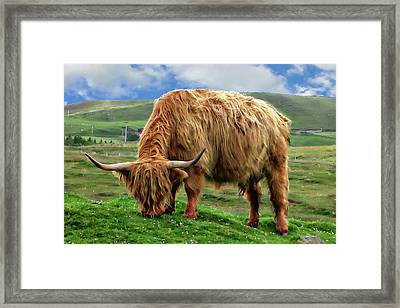 Highland Cow Framed Print by Anthony Dezenzio