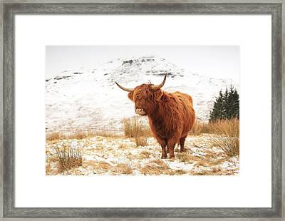 Highland Cow Framed Print