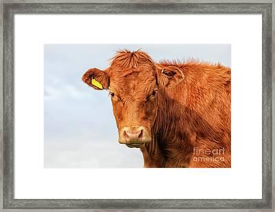 Highlander Calf Framed Print by Patricia Hofmeester