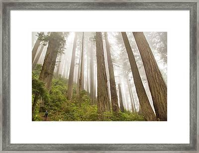 Hike Through The Redwoods Framed Print